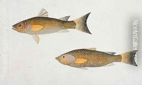 Fish with orange fins, from 'Drawings of Fishes from Malacca', c.1805-18 Oil Painting - Anonymous Artist