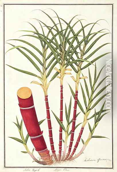 Sugar Cane, Teboo Gagak, from 'Drawings of Plants from Malacca', c.1805-18 Oil Painting - Anonymous Artist