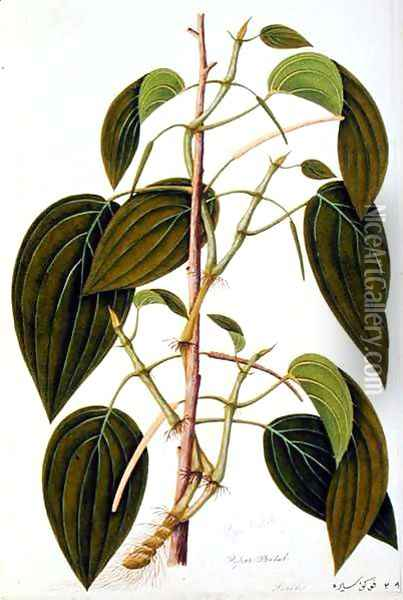 Piper Betal, from 'Fifty-Five Drawings of Medicinal Plants of Malacca, Volume 1', c.1805-18 Oil Painting - Anonymous Artist