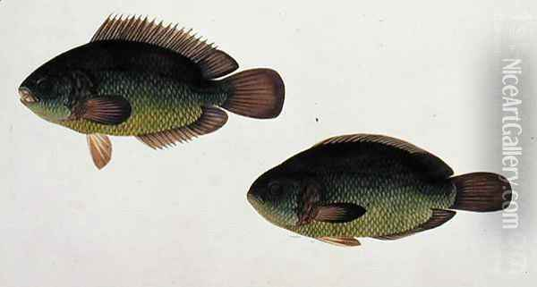 River Fish, Eekan Beto, from 'Drawings of Fishes from Malacca', c.1805-18 Oil Painting - Anonymous Artist