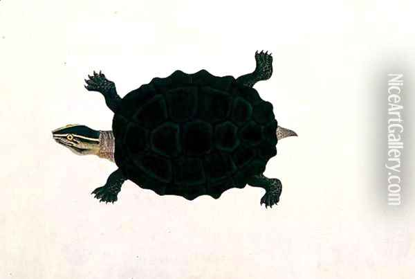 Land Tortoise, Koora Koora, from 'Drawings of Animals, Insects and Reptiles from Malacca', c.1805-18 Oil Painting - Anonymous Artist