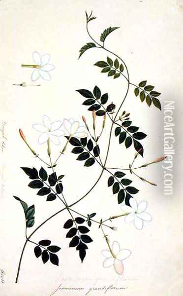 Jasminium grandiflorum, from 'Drawings of Plants from Malacca', c.1805-18 Oil Painting - Anonymous Artist