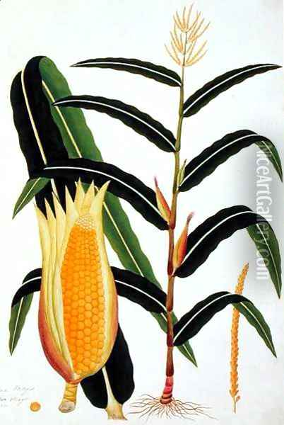 Jagong or Indian Corn, from 'Drawings of Plants from Malacca', c.1805-18 Oil Painting - Anonymous Artist