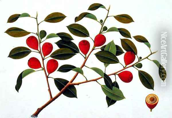 Booa Ara, inedible wild fruit, from 'Drawings of Plants from Malacca', c.1805-18 Oil Painting - Anonymous Artist