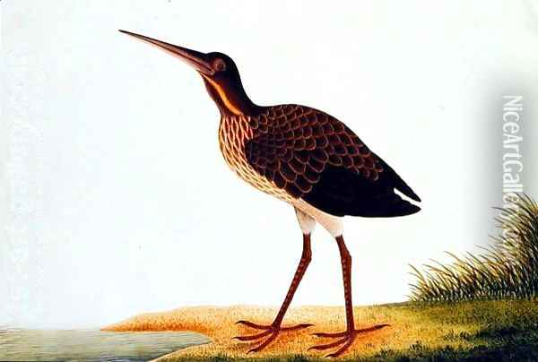 Sea bird, from 'Drawings of Birds from Malacca', c.1805-18 Oil Painting - Anonymous Artist