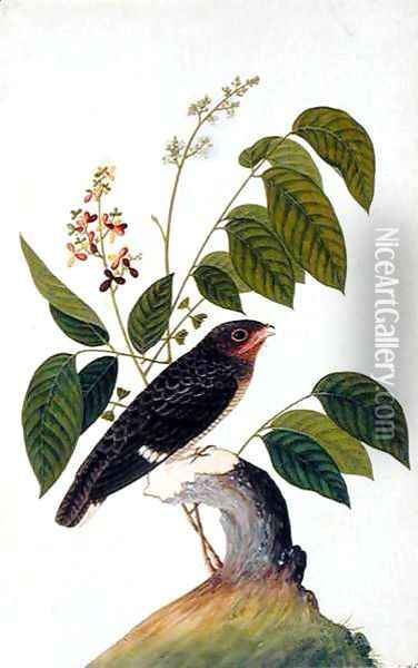 Exotic Bird, from 'Drawings of Birds from Malacca', c.1805-18 (4) Oil Painting - Anonymous Artist