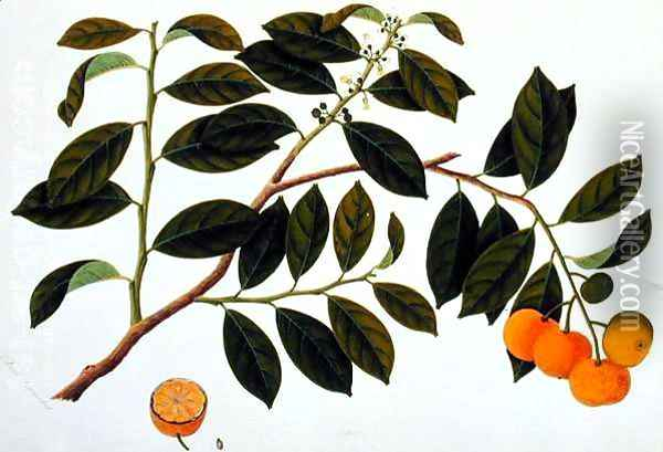 Limo Manies China or Chinese Oranges, from 'Drawings of Plants from Malacca', c.1805-18 Oil Painting - Anonymous Artist