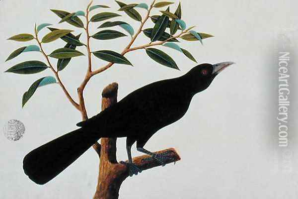 Black bird, from 'Drawings of Birds from Malacca', c.1805-18 (2) Oil Painting - Anonymous Artist