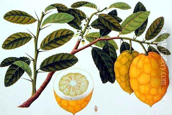 Limo Soe Sooe, Atrong or Citrus Medica, from 'Drawings of Plants from Malacca', c.1805-18 Oil Painting - Anonymous Artist