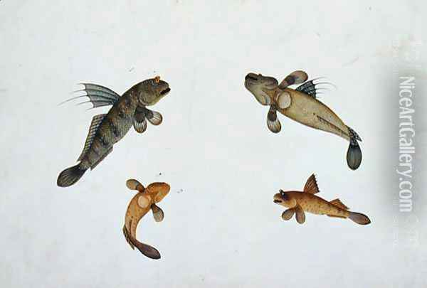Mud Fish, Bloodo chiena, Bloodo La-ore, from 'Drawings of Fishes from Malacca', c.1805-18 Oil Painting - Anonymous Artist
