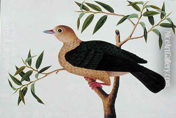 Stock Dove, Pergam, from 'Drawings of Birds from Malacca', c.1805-18 Oil Painting - Anonymous Artist