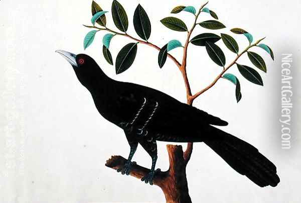 Black Bird, from 'Drawings of Birds from Malacca', c.1805-18 (1) Oil Painting - Anonymous Artist
