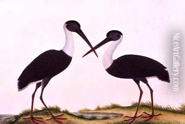 Bangou Eatan, from 'Drawings of Birds from Malacca', c.1805-18 Oil Painting - Anonymous Artist