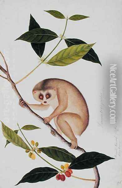 Lemur tardigradus, Booah Kawah (coffee tree) Kong Kang, from 'Drawings of Animals, Insects and Reptiles from Malacca', c.1805-18 Oil Painting - Anonymous Artist