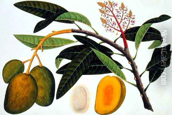 Buihang Mangifera, from 'Drawings of Plants from Malacca', c.1805-18 Oil Painting - Anonymous Artist