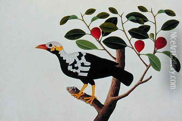 A White Headed Mina Drawn from Life, from 'Drawings of Birds from Malacca', c.1805-18 Oil Painting - Anonymous Artist