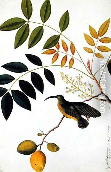 Long-beaked Humming Bird, Poko Booah Kadonong, from 'Drawings of Birds from Malacca', c.1805-18 Oil Painting - Anonymous Artist