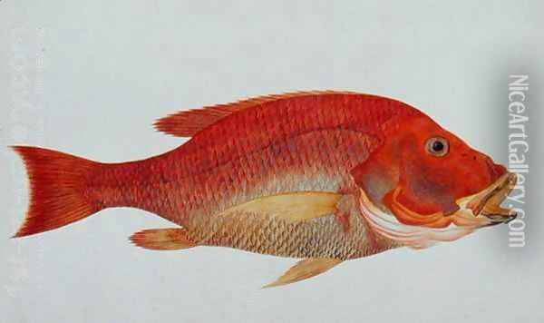 Eekan Bambangan, from 'Drawings of Fishes from Malacca', c.1805-18 Oil Painting - Anonymous Artist