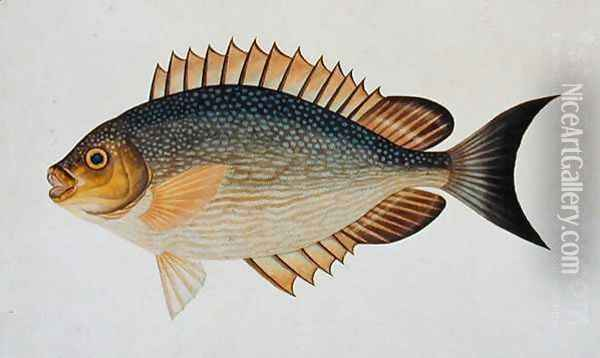 Eekan Kietang Kietang Lawot, from 'Drawings of Fishes from Malacca', c.1805-18 Oil Painting - Anonymous Artist