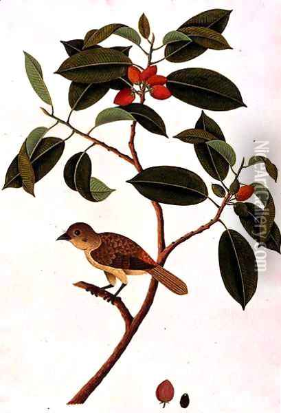 Boorong Siearas, from 'Drawings of Birds from Malacca', c.1805-18 Oil Painting - Anonymous Artist