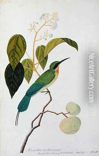 Aleurites Moluccana, Booah Cras, Boorong Bierik Bierik, from 'Drawings of Birds from Malacca', c.1805-18 Oil Painting - Anonymous Artist