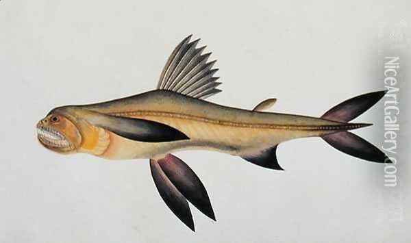 Eekan Arooan Tasick, from 'Drawings of Fishes from Malacca', c.1805-18 Oil Painting - Anonymous Artist