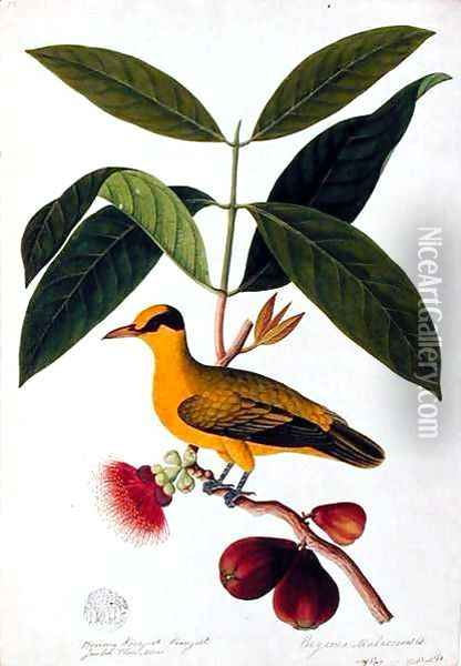 Boorong koonjiet koonjiet, Jambo Flore mera, from 'Drawings of Birds from Malacca', c.1805-18 Oil Painting - Anonymous Artist