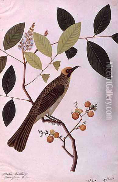 Mata Cooching, from 'Drawings of Birds from Malacca', c.1805-18 Oil Painting - Anonymous Artist