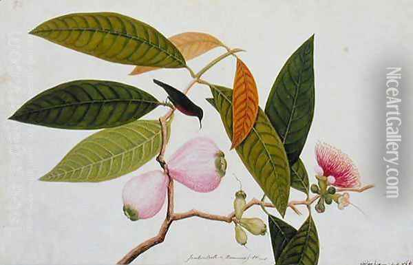 Jamboo, Boll and Humming Bird, from 'Drawings of Birds from Malacca', c.1805-18 Oil Painting - Anonymous Artist