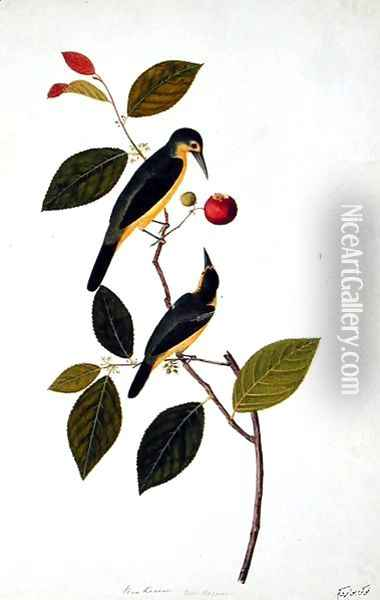Bua Rocam, from 'Drawings of Birds from Malacca', c.1805-18 Oil Painting - Anonymous Artist