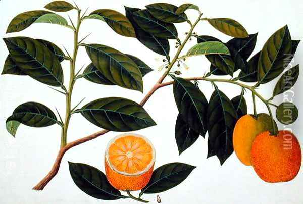Lemomanies Macao-Macao Oranges, from 'Drawings of Plants from Malacca', c.1805-18 Oil Painting - Anonymous Artist