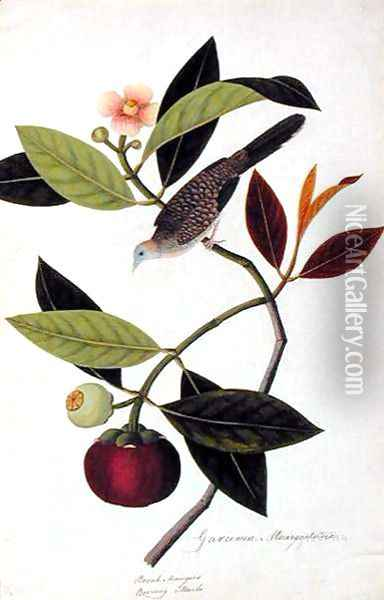 Garcinia Mangastana, Booah Mungies, Boorong Murbo, from 'Drawings of Birds from Malacca', c.1805-18 Oil Painting - Anonymous Artist