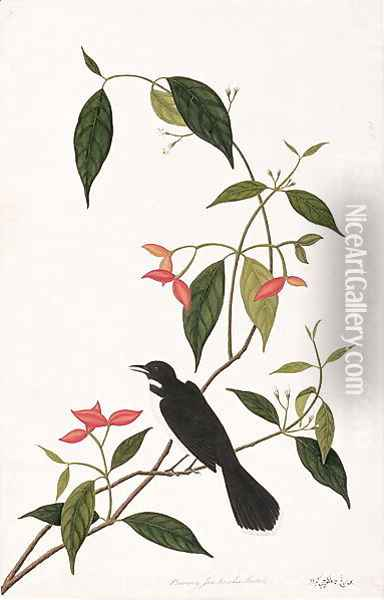 Booring Janke-chee Gutah, from 'Drawings of Birds from Malacca', c.1805-18 Oil Painting - Anonymous Artist