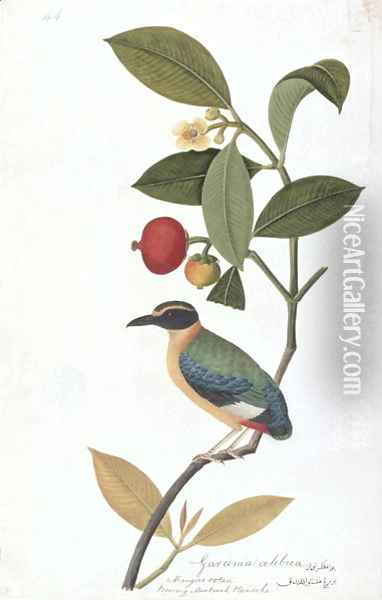 Garcinia celebica, Mangies ootan, Bourong Mentooah Plandoka, from 'Drawings of Birds from Malacca', c.1805-18 Oil Painting - Anonymous Artist