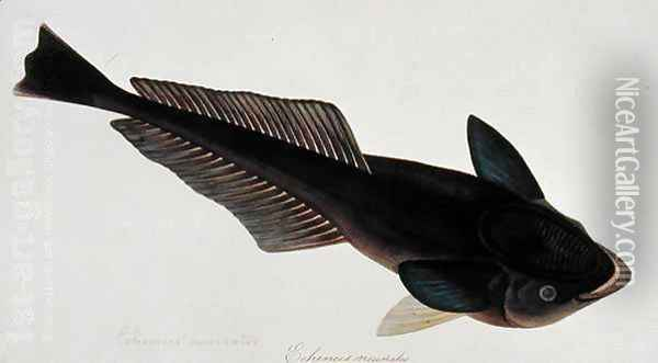 Eekan Gernie, Echeneis neuerates, from 'Drawings of Fishes from Malacca', c.1805-18 Oil Painting - Anonymous Artist