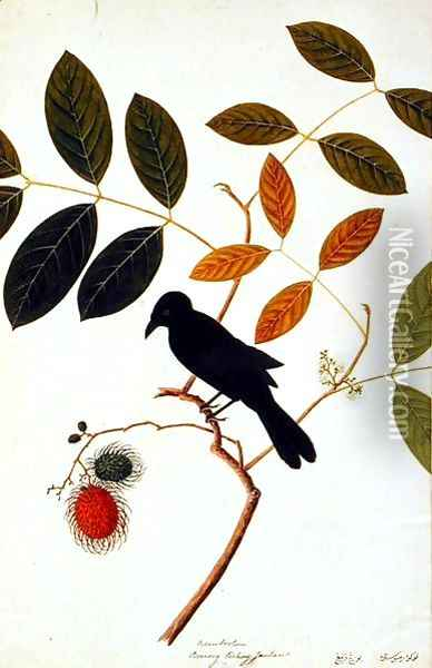Rambootan, Boorong Perling Jantan, from 'Drawing of Birds from Malacca', c.1805-18 Oil Painting - Anonymous Artist