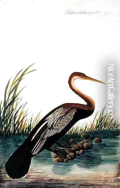 Boorong Maudang, Plotus Melangaster, from 'Drawings of Birds from Malacca', c.1805-18 Oil Painting - Anonymous Artist