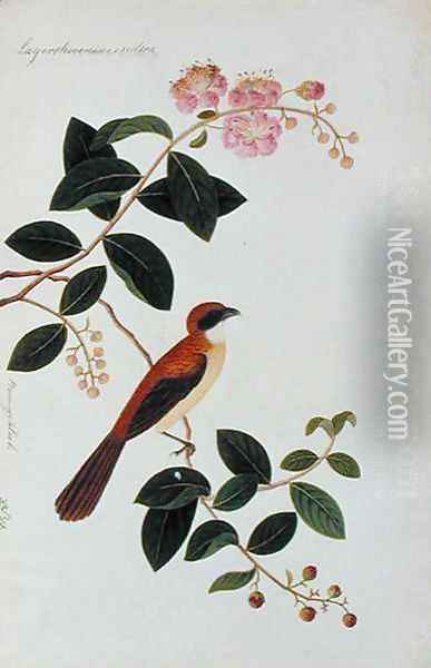 Boorong Seliah, Lagerstroesnia indica, from 'Drawings of Birds from Malacca', c.1805-18 Oil Painting - Anonymous Artist