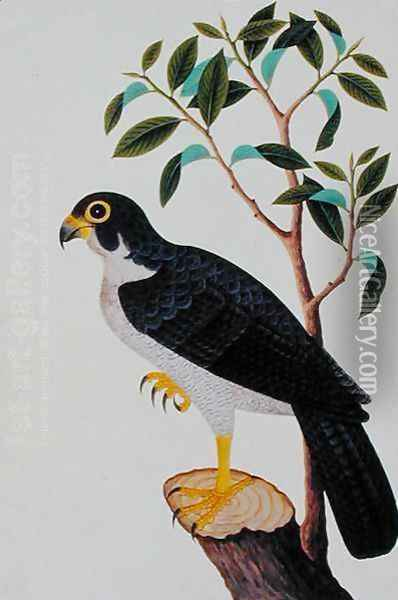 Bird of Prey, from 'Drawings of Birds from Malacca', c.1805-18 Oil Painting - Anonymous Artist