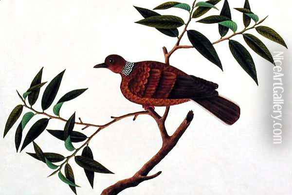 Turtle Dove, Tookoo-Kore, from 'Drawings of Birds from Malacca', c.1805-18 Oil Painting - Anonymous Artist