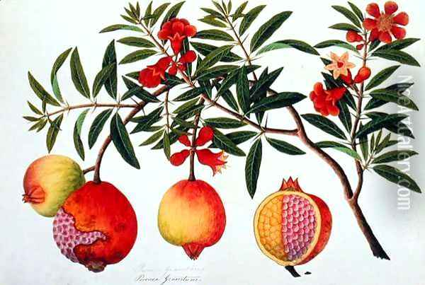 Bua Klitchie or Caesalpinia bonduccella, from 'Drawings of Plants from Malacca', c.1805-18 Oil Painting - Anonymous Artist