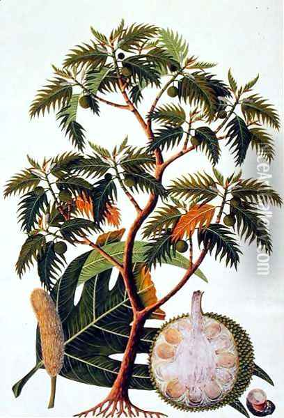 Sookong (Bread Fruit) and Artocarpus Incisa (Lin) from 'Drawings of Plants from Malacca', c.1805-18 Oil Painting - Anonymous Artist