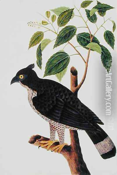 Bird of Prey, from 'Drawings of Birds from Malacca', c.1805-18 (2) Oil Painting - Anonymous Artist