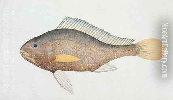 Eekan Jena, from 'Drawings of Fishes from Malacca', c.1805-18 Oil Painting - Anonymous Artist