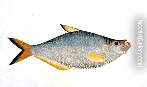 Eekan Poopote, from 'Drawings of Fishes from Malacca', c.1805-18 Oil Painting - Anonymous Artist