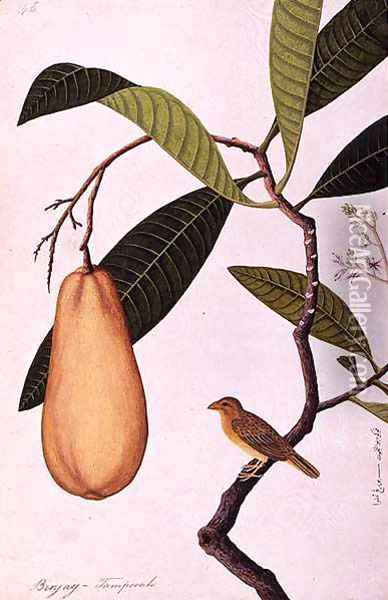 Binjay, Tampooah, from 'Drawings of Birds from Malacca', c.1805-18 Oil Painting - Anonymous Artist