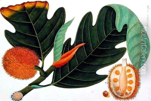 Trab or Artocarpus incesses, from 'Drawings of Plants from Malacca', c.1805-18 Oil Painting - Anonymous Artist