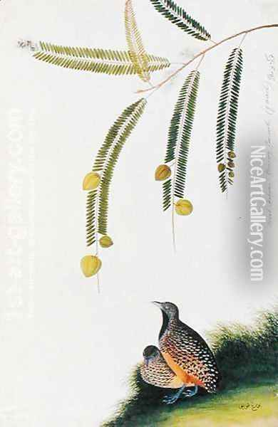 Quails, Booah Malacca, Boorong Poo-eeoh, from 'Drawings of Birds from Malacca', c.1805-18 Oil Painting - Anonymous Artist