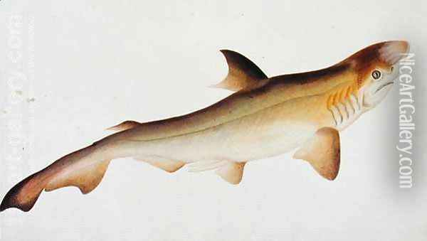 Shark, Eekan Ee-oo, from 'Drawings of Fishes from Malacca', c.1805-18 Oil Painting - Anonymous Artist
