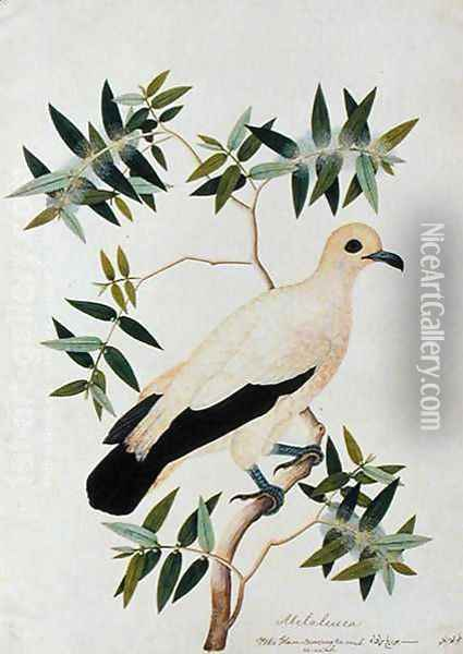 Melabeuca, Poke Glam, Boorong ra-ooah ra-ooah, from 'Drawings of Birds from Malacca', c.1805-18 Oil Painting - Anonymous Artist